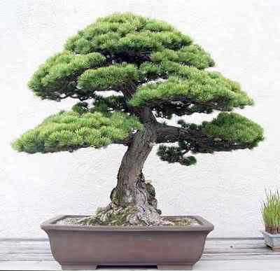 WhitePinedonatedbyHisMajestyKingHassanIIofMoroccointrainingsince1832 Bonsai: A arte de criar árvores em miniatura