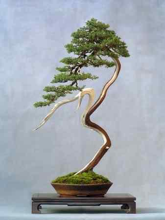 Wlodzimierz Pietraszko bonsai 337x450 Bonsai: A arte de criar árvores em miniatura