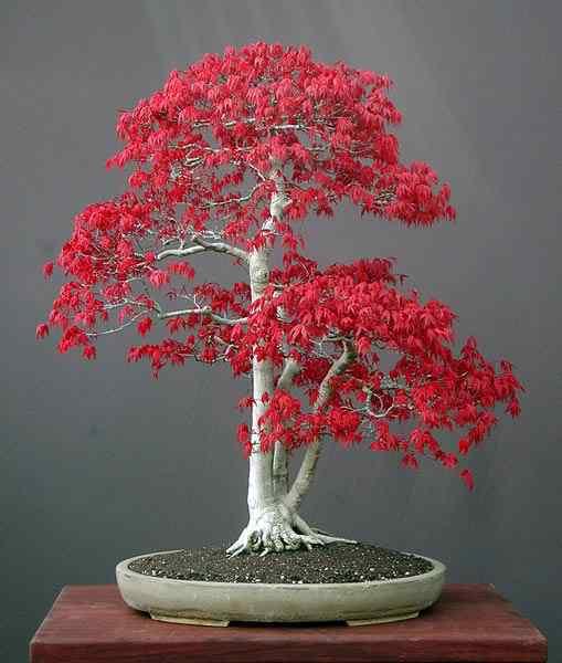 acer palmatum bonsai 1 Bonsai: A arte de criar árvores em miniatura