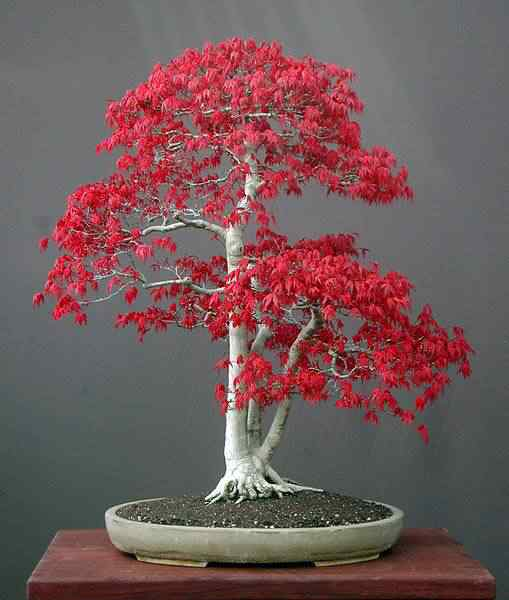 acer palmatum bonsai Bonsai: A arte de criar árvores em miniatura