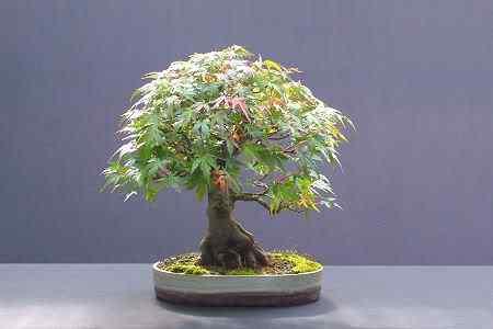 acermaplebonsai0808 Bonsai: A arte de criar árvores em miniatura