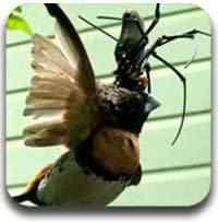 aranha que come passarinho Artigos legais do Mundo Gump