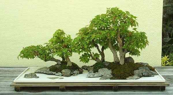 arbo1 trident maple Bonsai: A arte de criar árvores em miniatura