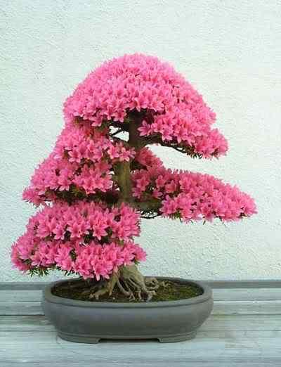 arbo azalea Bonsai: A arte de criar árvores em miniatura