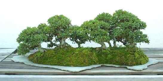 arbo chinese elm Bonsai: A arte de criar árvores em miniatura