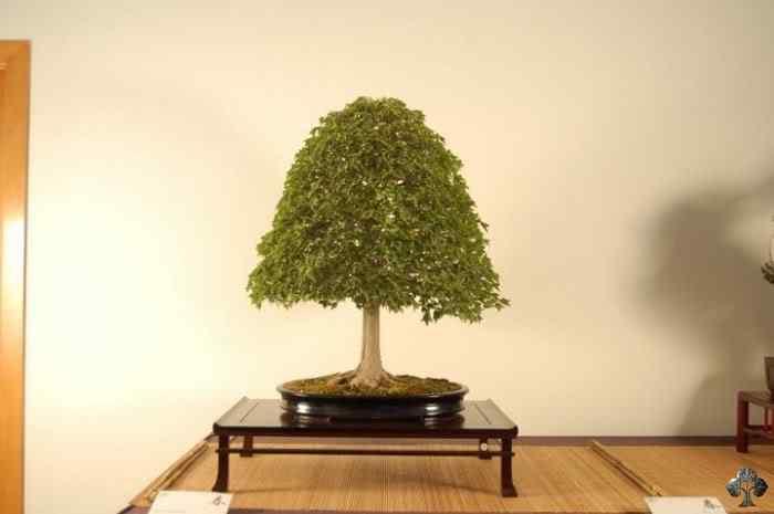 arce trifido by patxi pavia 20110201 1063931628 Bonsai: A arte de criar árvores em miniatura