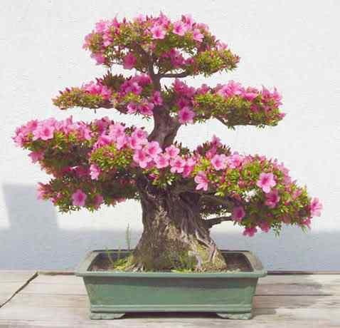 aza rhod 11 Bonsai: A arte de criar árvores em miniatura