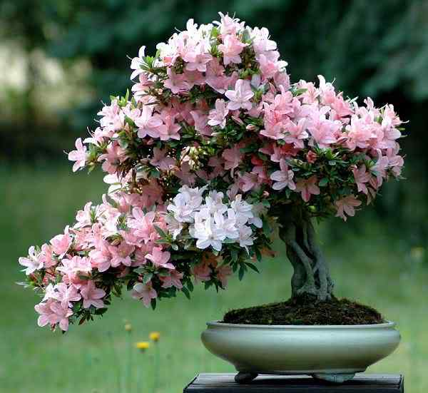 azaleaindicum60cm Bonsai: A arte de criar árvores em miniatura