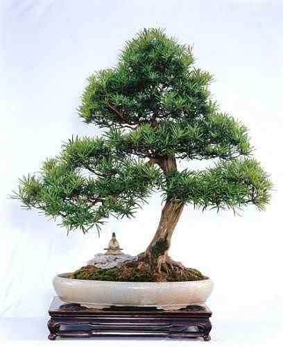 ba079 2 f Bonsai: A arte de criar árvores em miniatura