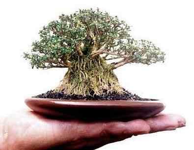 banyan serrisa large Bonsai: A arte de criar árvores em miniatura