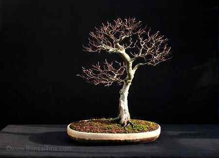 beechbonsai01094 Bonsai: A arte de criar árvores em miniatura
