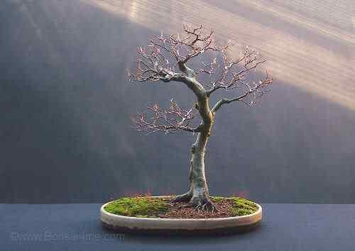 beechbonsai1107500 Bonsai: A arte de criar árvores em miniatura