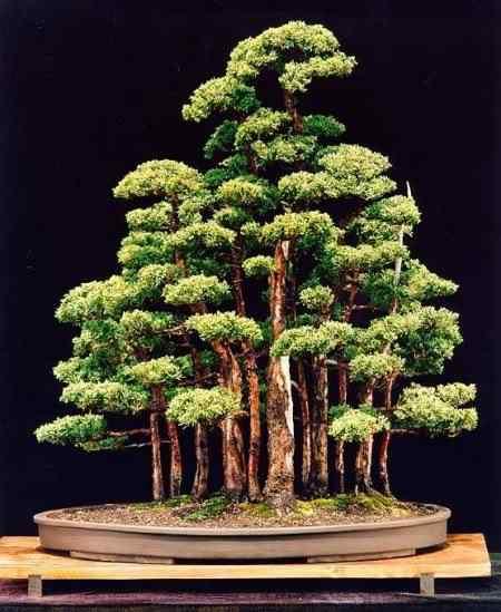 blaau1 Bonsai: A arte de criar árvores em miniatura