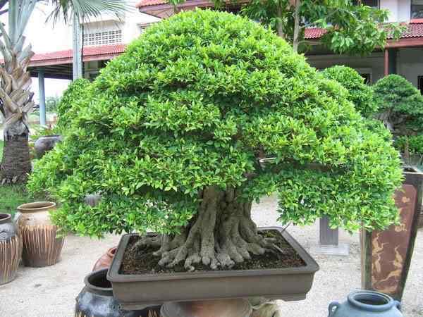bonsai  Bonsai: A arte de criar árvores em miniatura