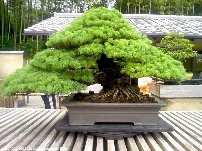 bonsai 1 Bonsai: A arte de criar árvores em miniatura