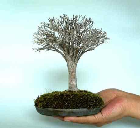 bonsai 15 Bonsai: A arte de criar árvores em miniatura