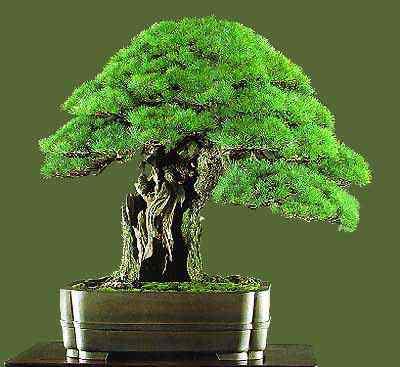 bonsai07 Bonsai: A arte de criar árvores em miniatura
