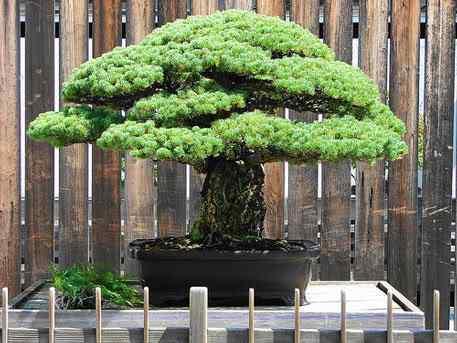 bonsai2 Bonsai: A arte de criar árvores em miniatura