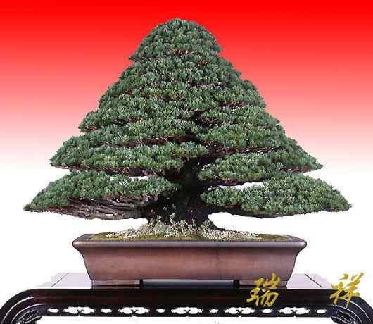 bonsai30 1 Bonsai: A arte de criar árvores em miniatura
