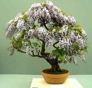bonsai 371x352 Bonsai: A arte de criar árvores em miniatura