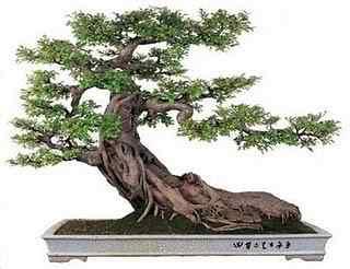bonsai penjing Bonsai: A arte de criar árvores em miniatura