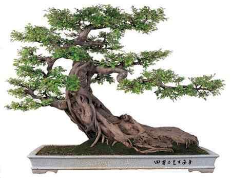 bonsai penjing1 Bonsai: A arte de criar árvores em miniatura
