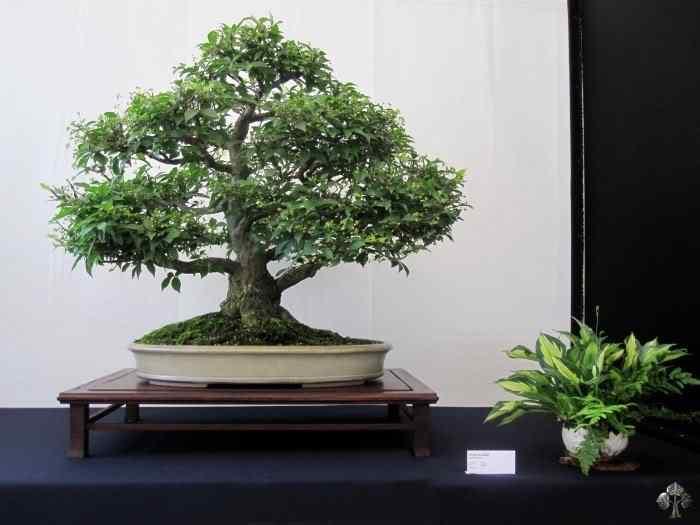 bonsaishow delft2010 20101031 1826293082 Bonsai: A arte de criar árvores em miniatura