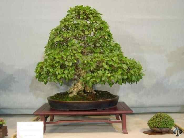 carpinus by german gomez 20110202 1277144833 Bonsai: A arte de criar árvores em miniatura