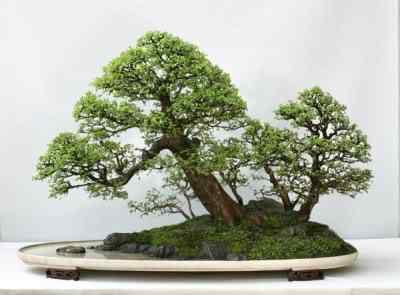 chinese elm Bonsai: A arte de criar árvores em miniatura