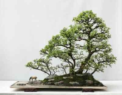 chinese elm2 Bonsai: A arte de criar árvores em miniatura