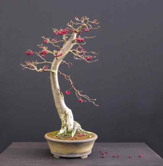 cotoneasterbonsai1 Bonsai: A arte de criar árvores em miniatura
