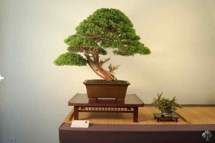 cupressus by jose luis lahuerta 20110201 1090030328 Bonsai: A arte de criar árvores em miniatura
