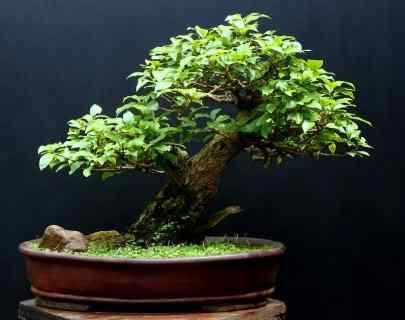 dsc017401 Bonsai: A arte de criar árvores em miniatura