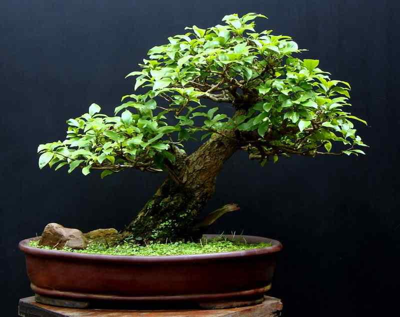 dsc0174011 Bonsai: A arte de criar árvores em miniatura
