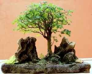 dsc03240 Bonsai: A arte de criar árvores em miniatura