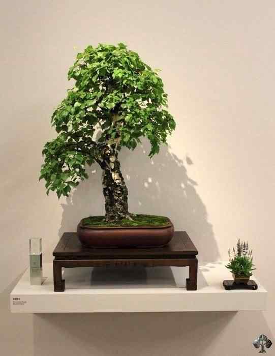 eba winners 20101031 1441672692 Bonsai: A arte de criar árvores em miniatura