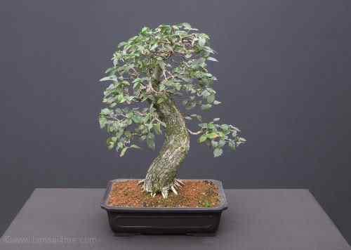 elmbonsai Bonsai: A arte de criar árvores em miniatura