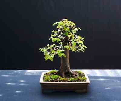 europeanhornbeambonsai0707400 Bonsai: A arte de criar árvores em miniatura