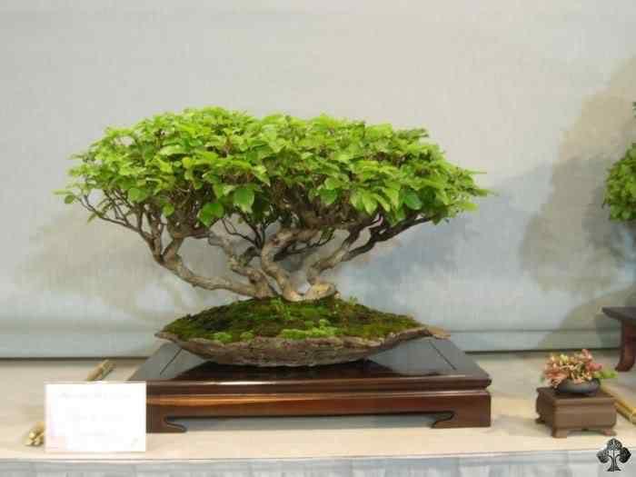 fagus 20110202 1436325329 Bonsai: A arte de criar árvores em miniatura