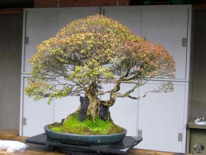 fuyoen 20101031 1159499150 Bonsai: A arte de criar árvores em miniatura
