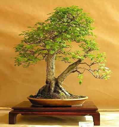 grusza Bonsai: A arte de criar árvores em miniatura