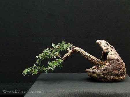 hawthorn0706450 Bonsai: A arte de criar árvores em miniatura