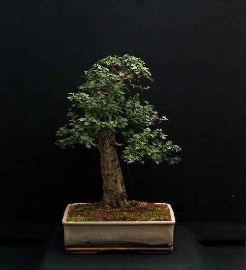 hawthorn110806001500 Bonsai: A arte de criar árvores em miniatura