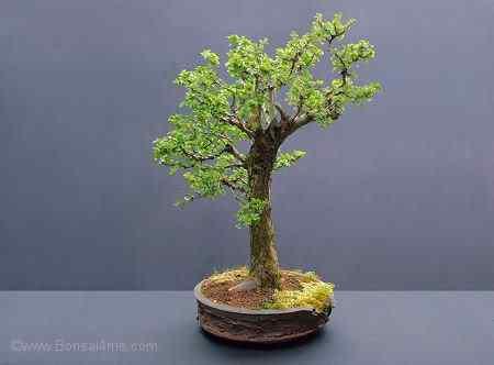 hawthornbonsai030508450 Bonsai: A arte de criar árvores em miniatura