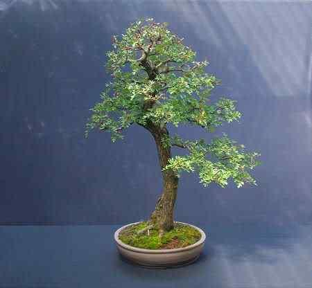 hawthornbonsai0608 1 Bonsai: A arte de criar árvores em miniatura