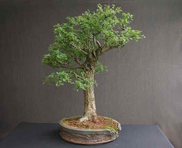 hawthornbonsai2 Bonsai: A arte de criar árvores em miniatura