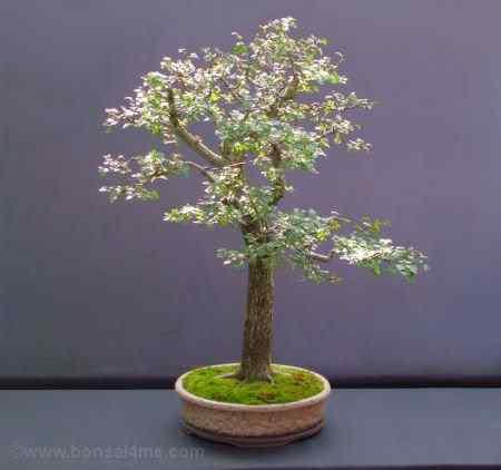 hawthornbonsai220808003 Bonsai: A arte de criar árvores em miniatura