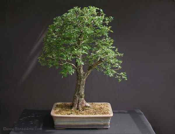 hawthornbonsaihdrJune20092 Bonsai: A arte de criar árvores em miniatura