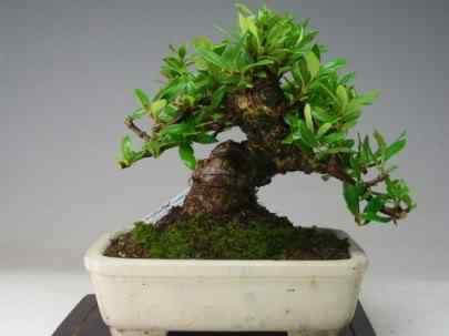 img10032934034 Bonsai: A arte de criar árvores em miniatura