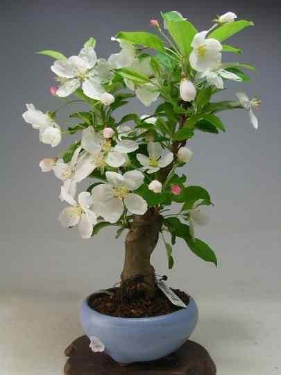 img10033101376 Bonsai: A arte de criar árvores em miniatura